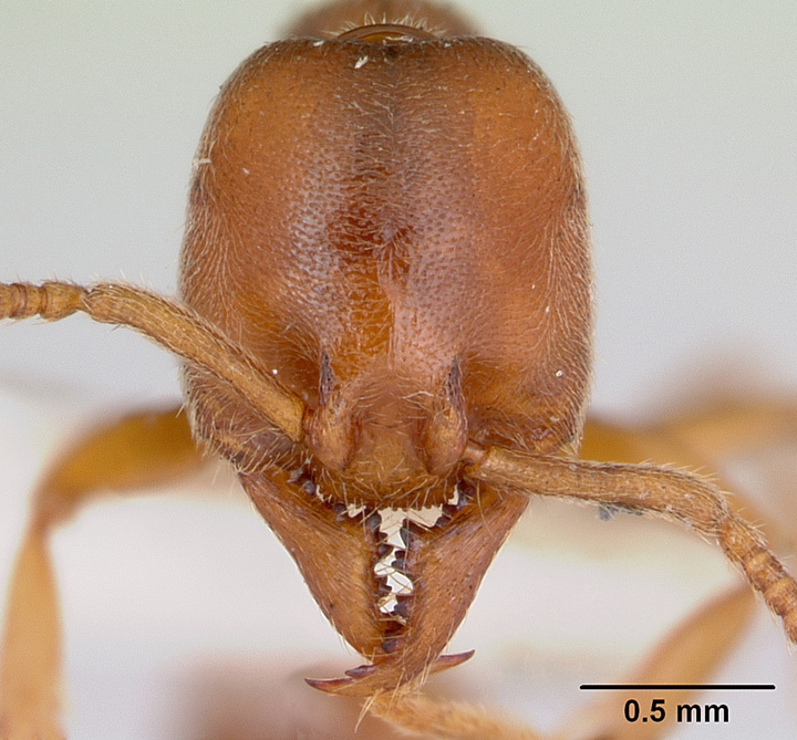 Amblyopone trigonignatha, full face view of a worker