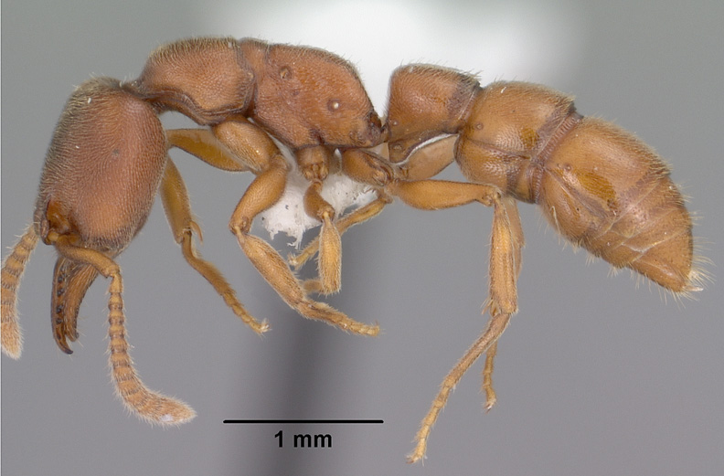 Amblyopone pallipes, side view of a worker