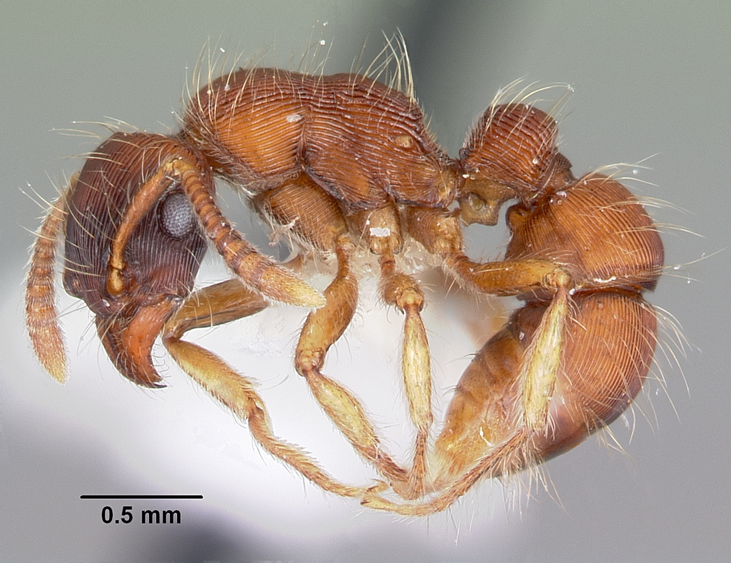 research on ant tribe phenomenon The study of ants can be difficult, particularly in the tropics  likely led to high  levels of endemism, a phenomenon that deserves much further exploration   brown wl jr (1953) revisionary studies in the ant tribe dacetini.