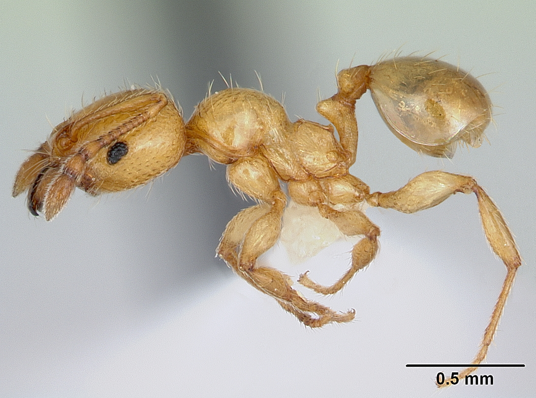 Pheidole pelor profile view of minor worker
