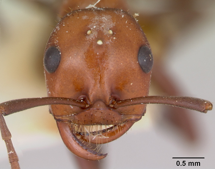 Polyergus longicornis, full face view of a worker