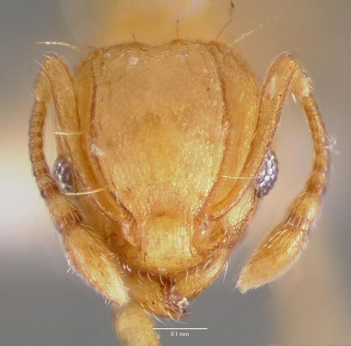 Wasmannia.auropunctata.head.jpg
