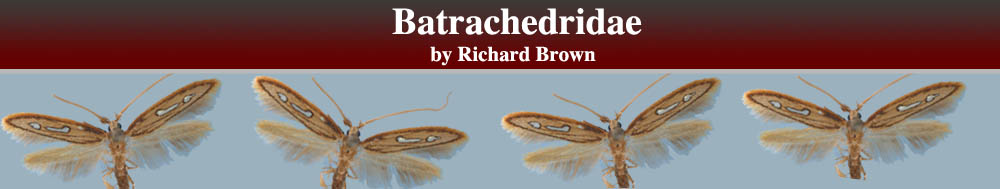 Batrachedridae header
