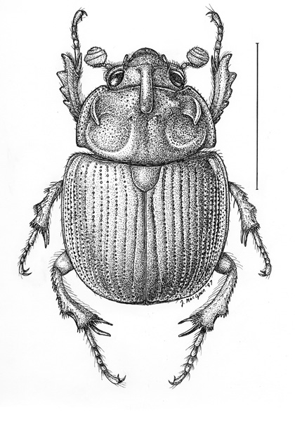 Joe MacGown's Insect Art Gallery 1 Scarabs, Nitidulids ...
