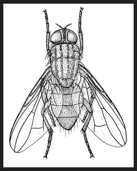 drawings of dairy pests by joe macgown