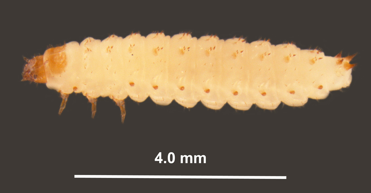 Aethina tumida Murray, profile view of larva by Joe MacGown