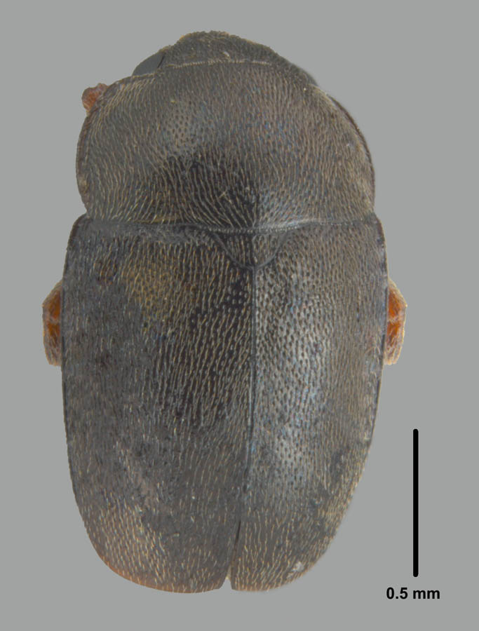 Meligethes nigrescens Stephens