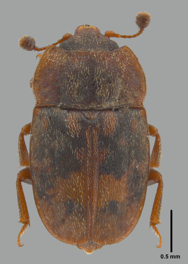 Omosita colon (Linnaeus)