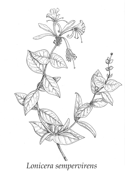 Honeysuckle Flower Line Drawing : Lonicera sempervirens