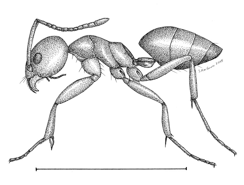 tapinoma sessile is commonly called the odorous house ant this native ant is one of the most adaptable species of ants in the united states