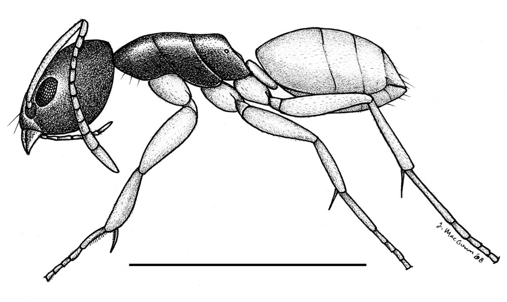 Tapinoma melanocephalum drawing by Joe MacGown