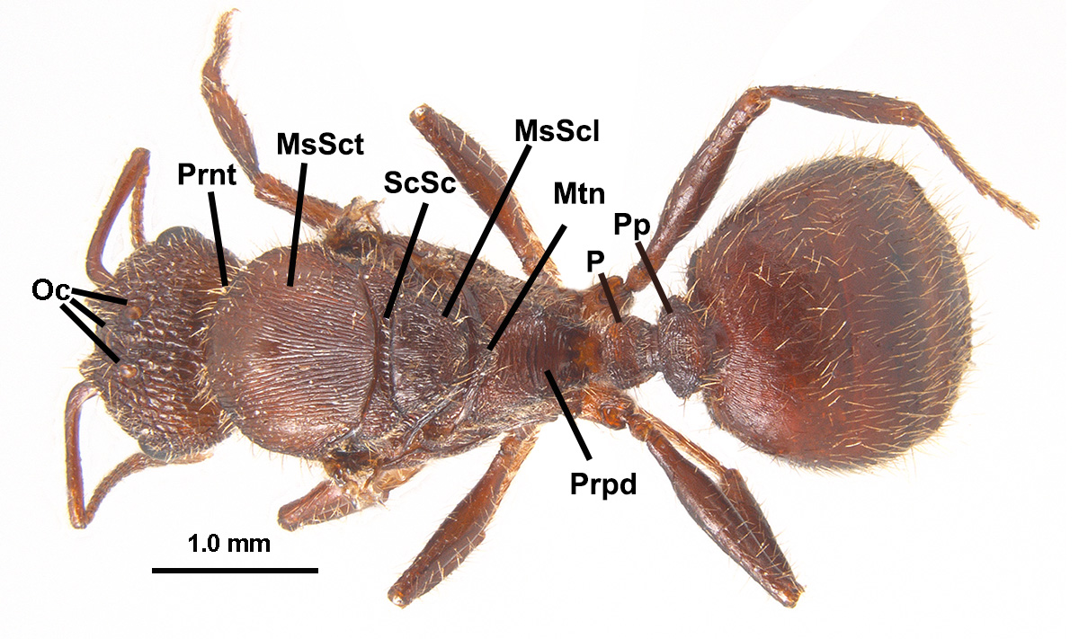 Morphological Feautures of of Ants