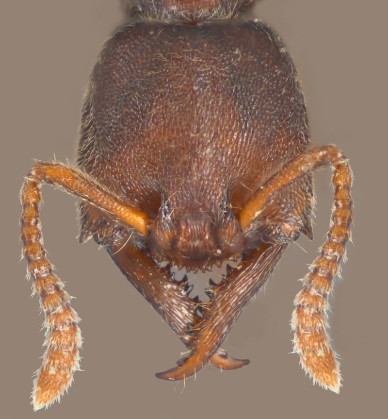 Stigamatomma pallipes face