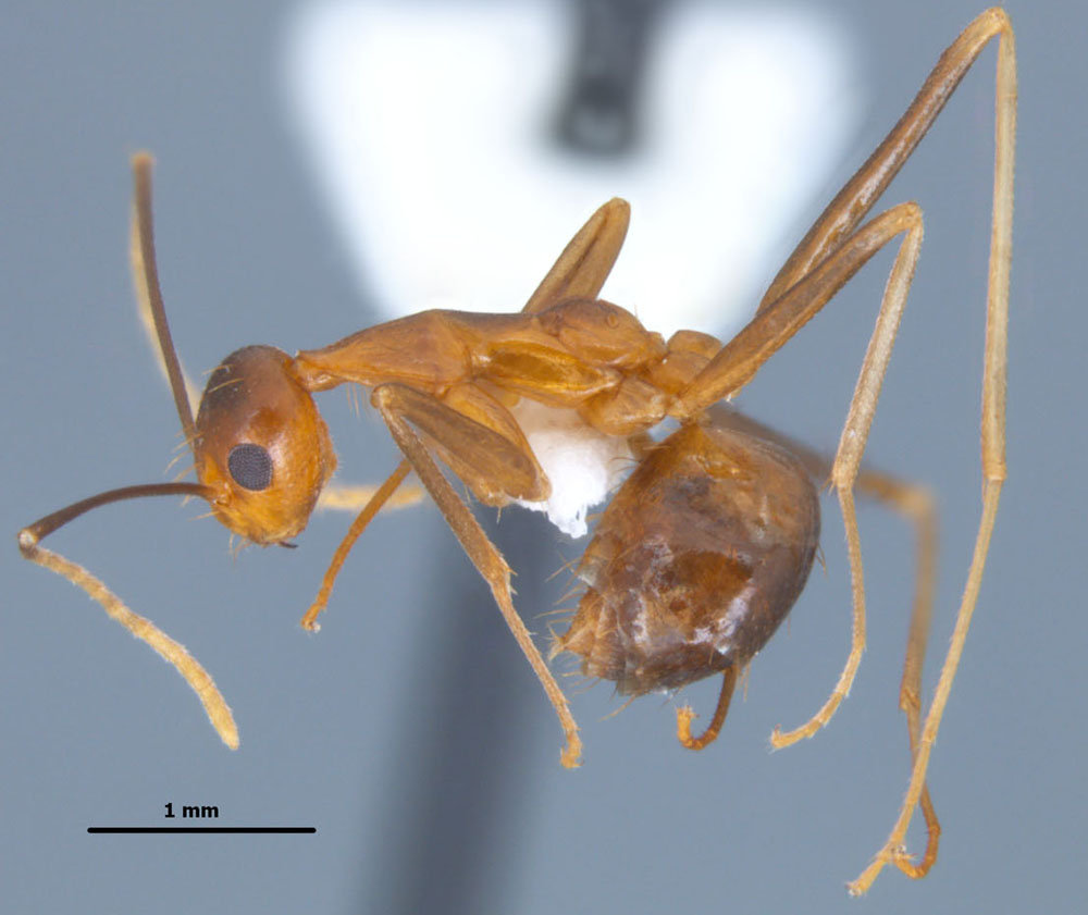Anoplolepis gracilipes side