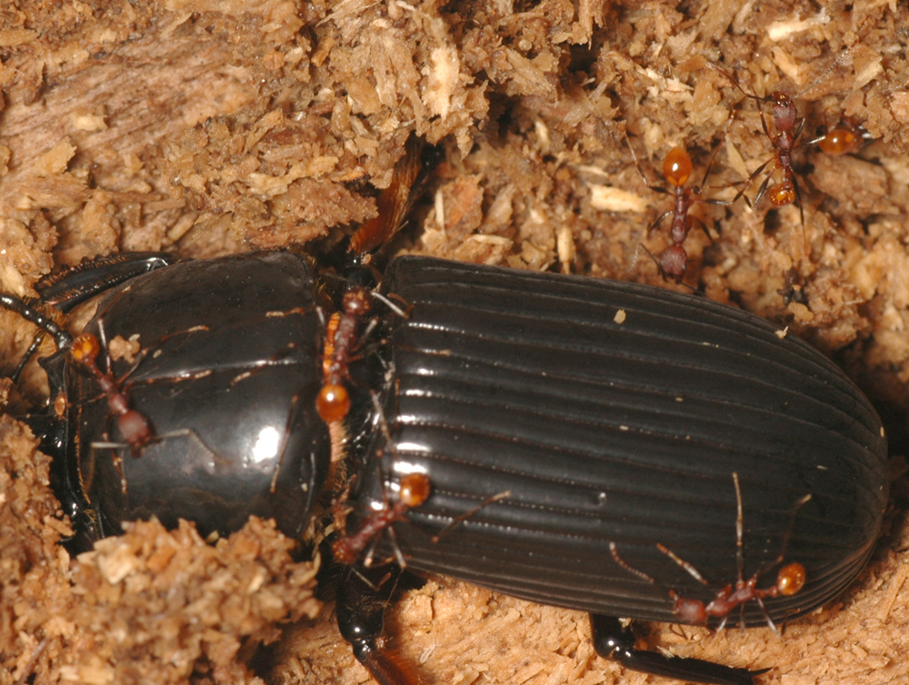Aphaenogaster lamellidens attacking Bess Beetle