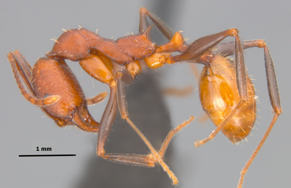 Aphaenogaster lamellidens side view of worker