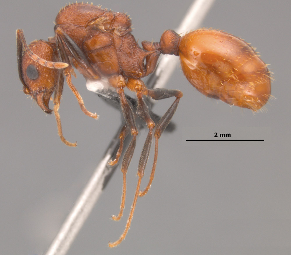 Aphaenogaster lamellidens queen side view