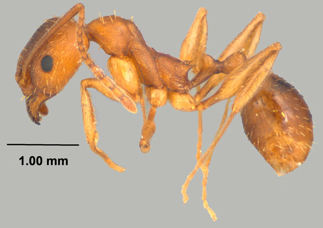 Aphaenogaster rudis, profile view of worker