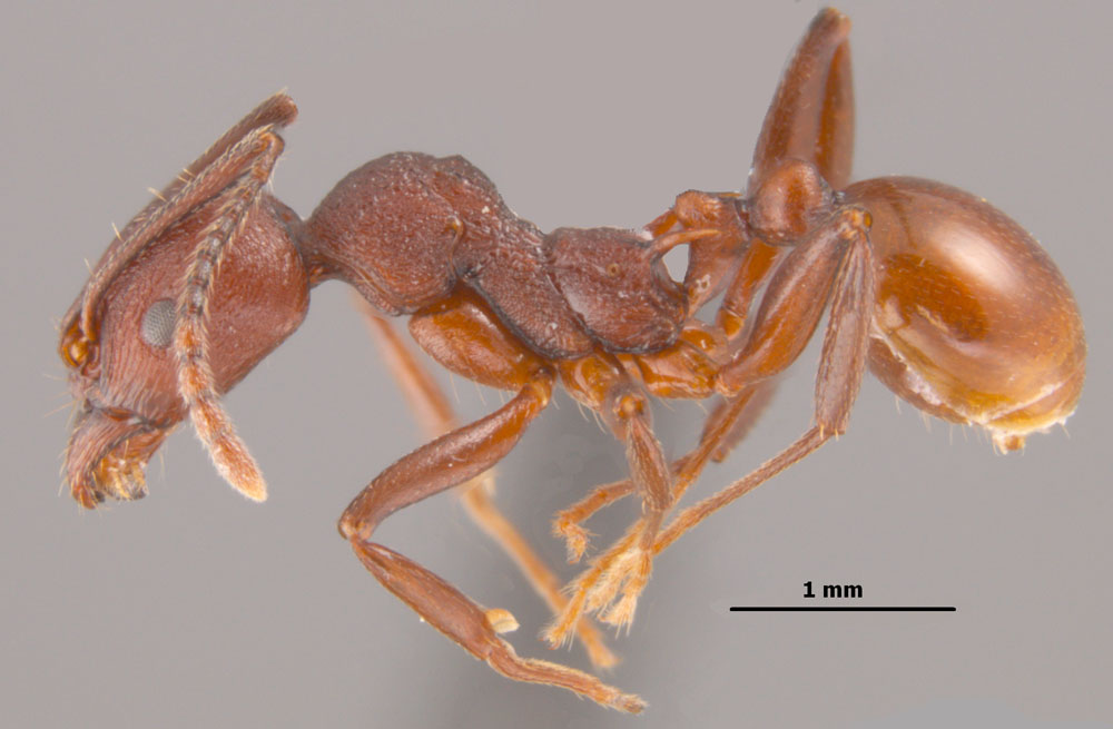 Aphaenogaster tennesseensis worker side view