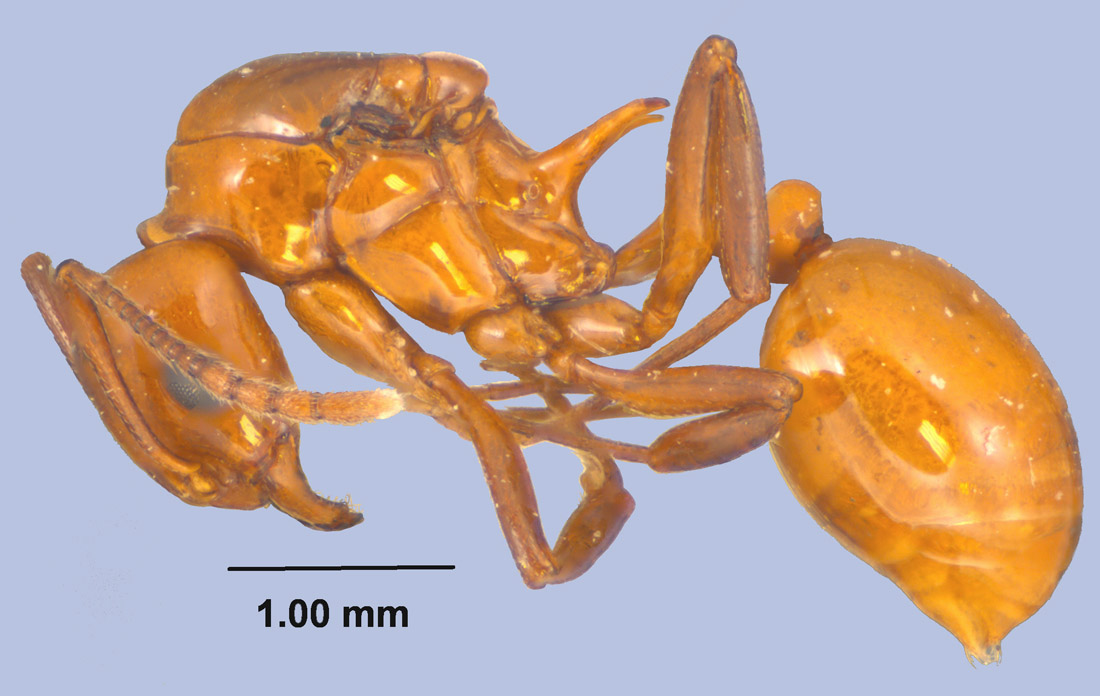 Aphaenogaster tennesseensis queen side view