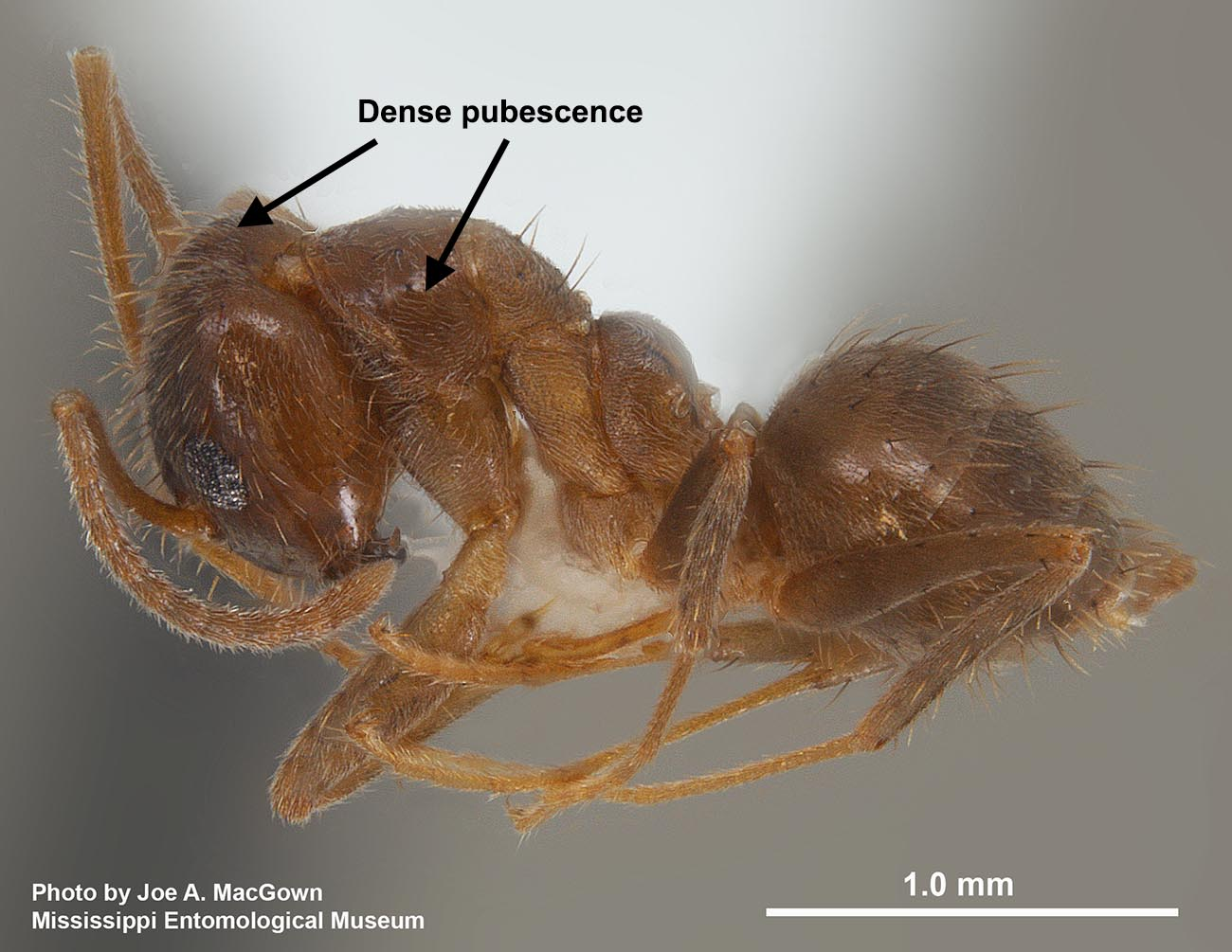 Nylanderia fulva worker from Georgia, photo by Joe A. MacGown