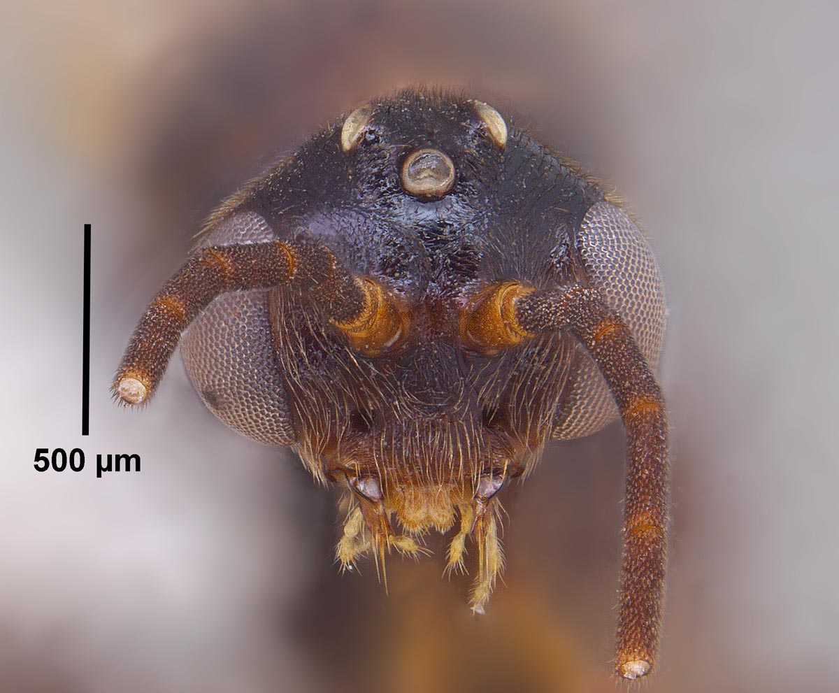 Odontomachus clarus male head