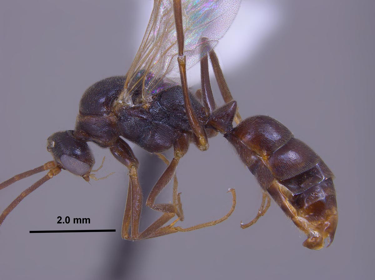 Odontomachus clarus male side view