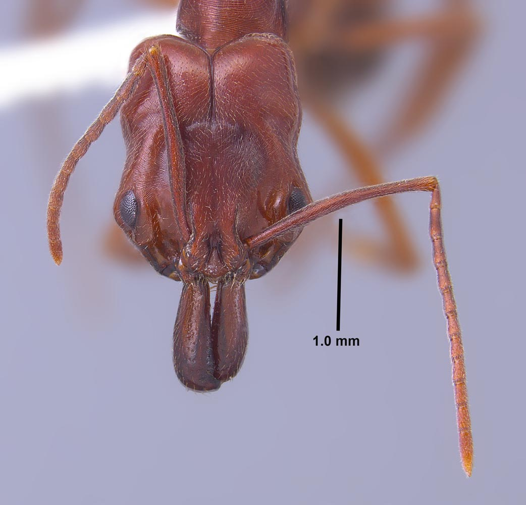 Odontomachus clarus worker head