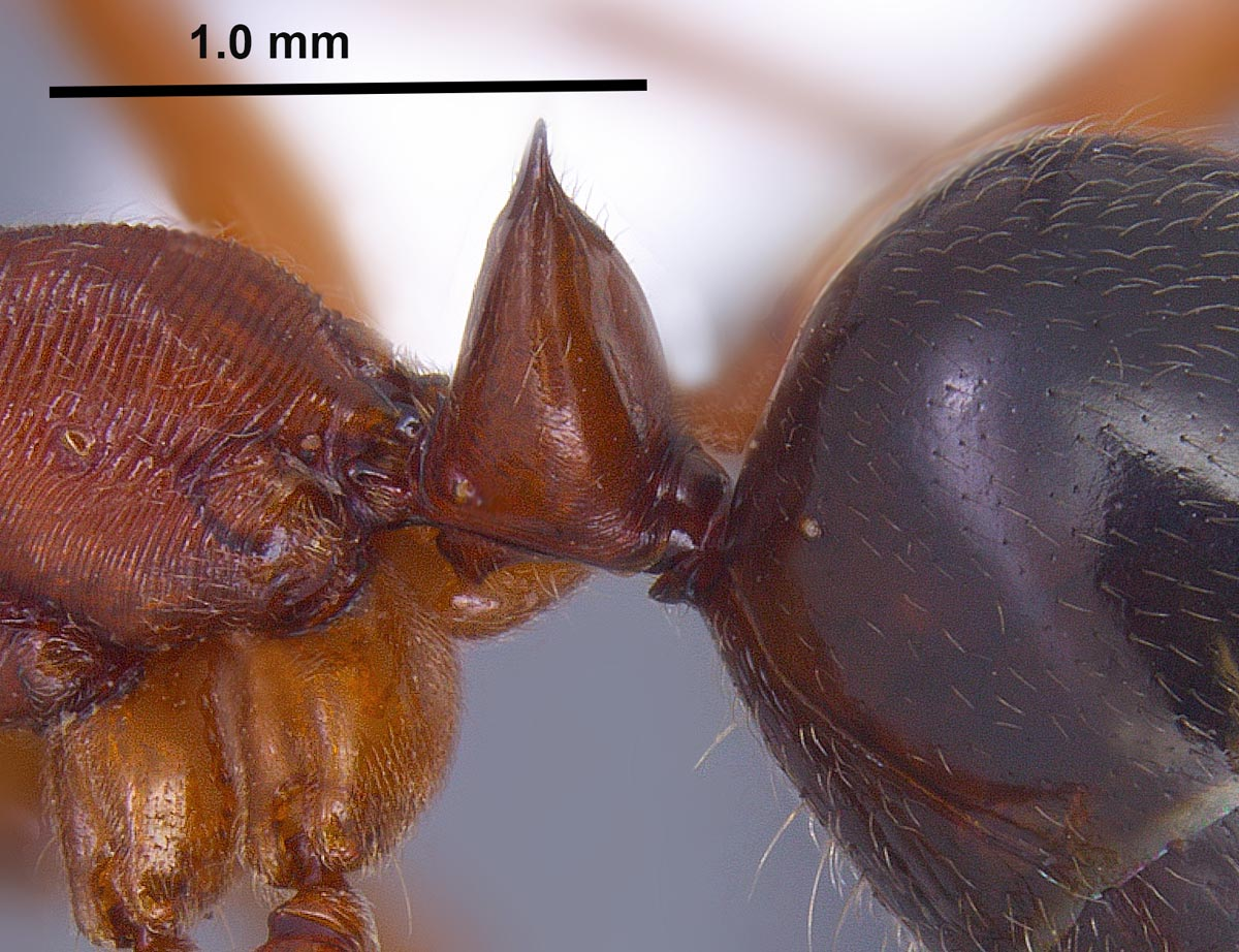 Odontomachus clarus petiole in lateral view