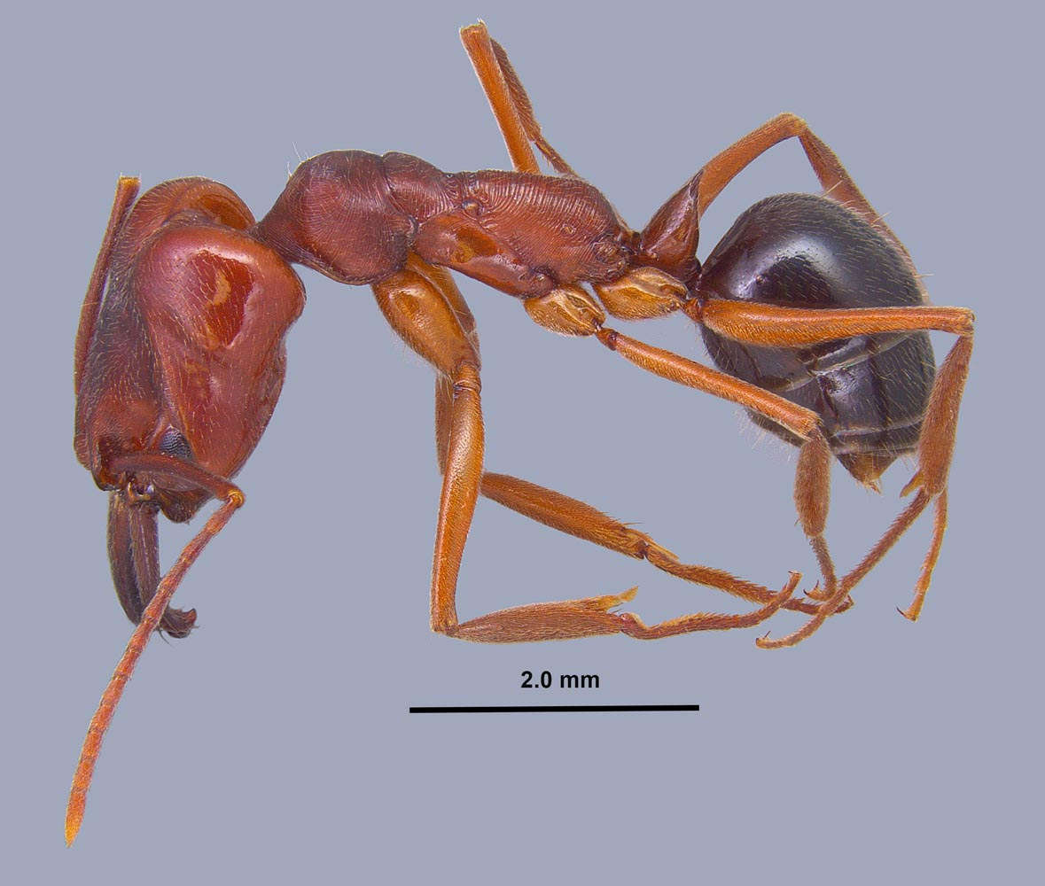 Odontomachus clarus worker profile