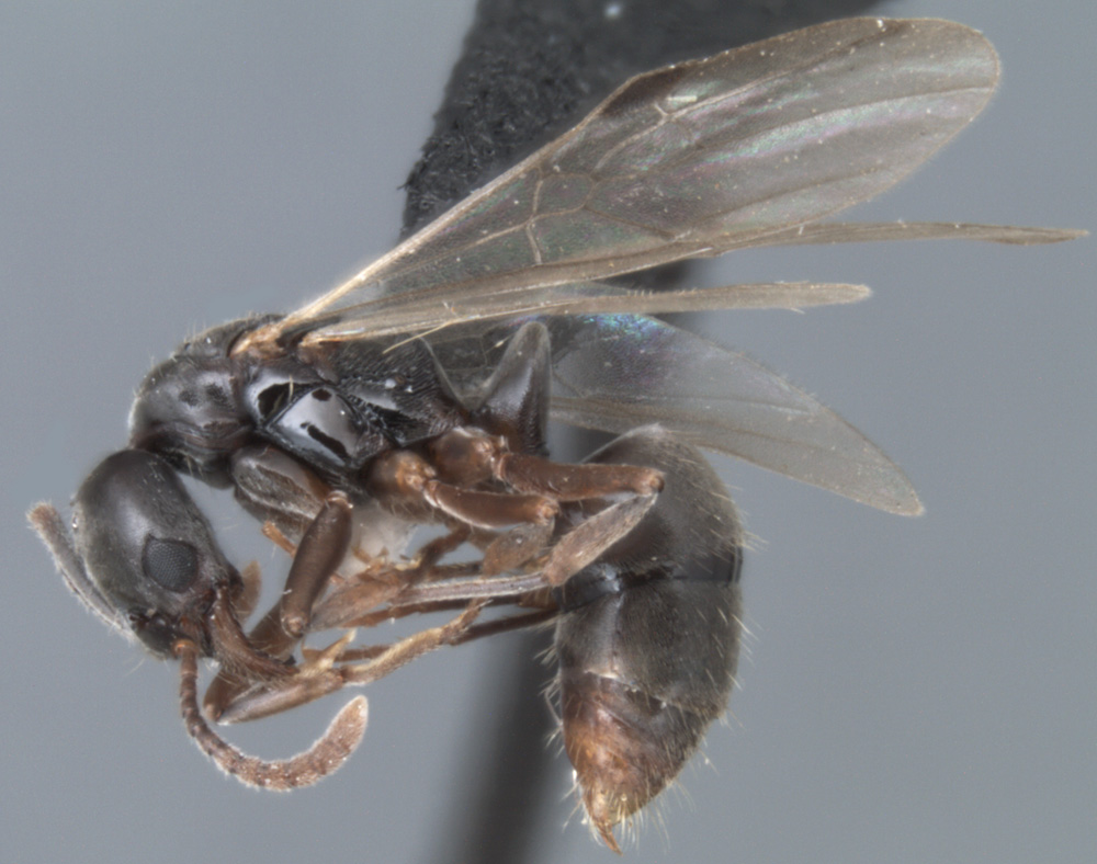 Pachycondyla chinensis, profile view of an alate queen