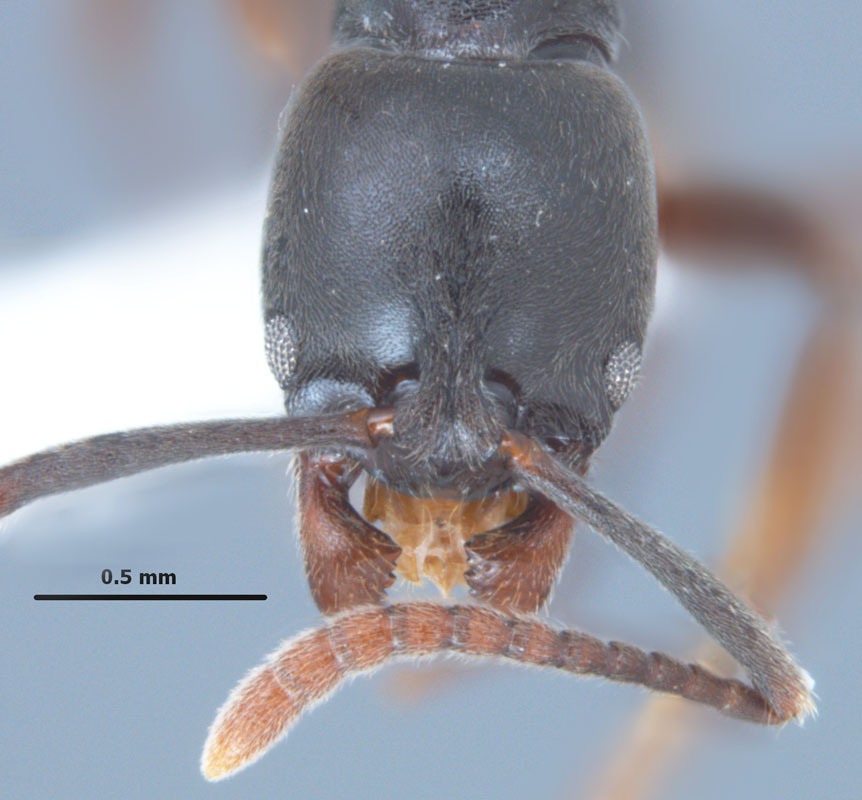 Pachycondyla chinensis, full face view of worker