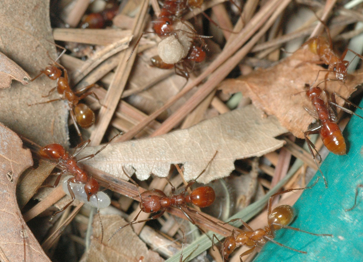Polyergus longicornis, raiding Formica dolosa colony on 8 June 2008 in Sturgis, MS