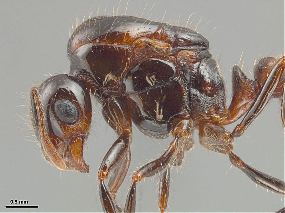 Solenopsis invicta X richteri, profile view of a dealate queen showing alitrunk and head