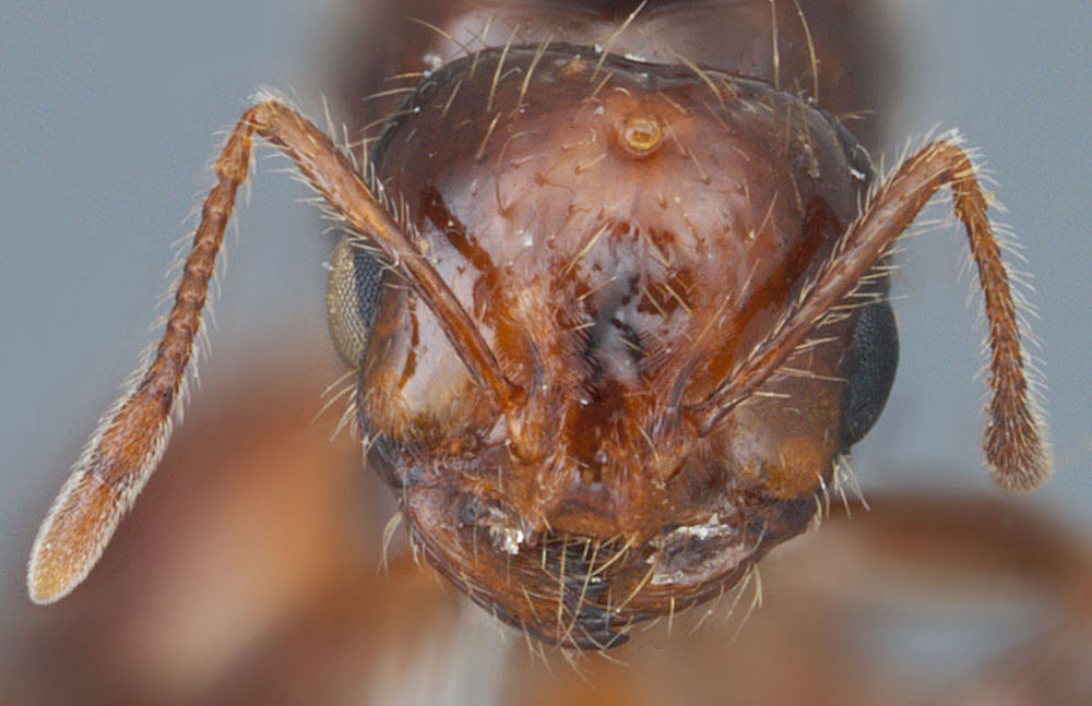 Solenopsis invicta X richteri, full face view of a queen