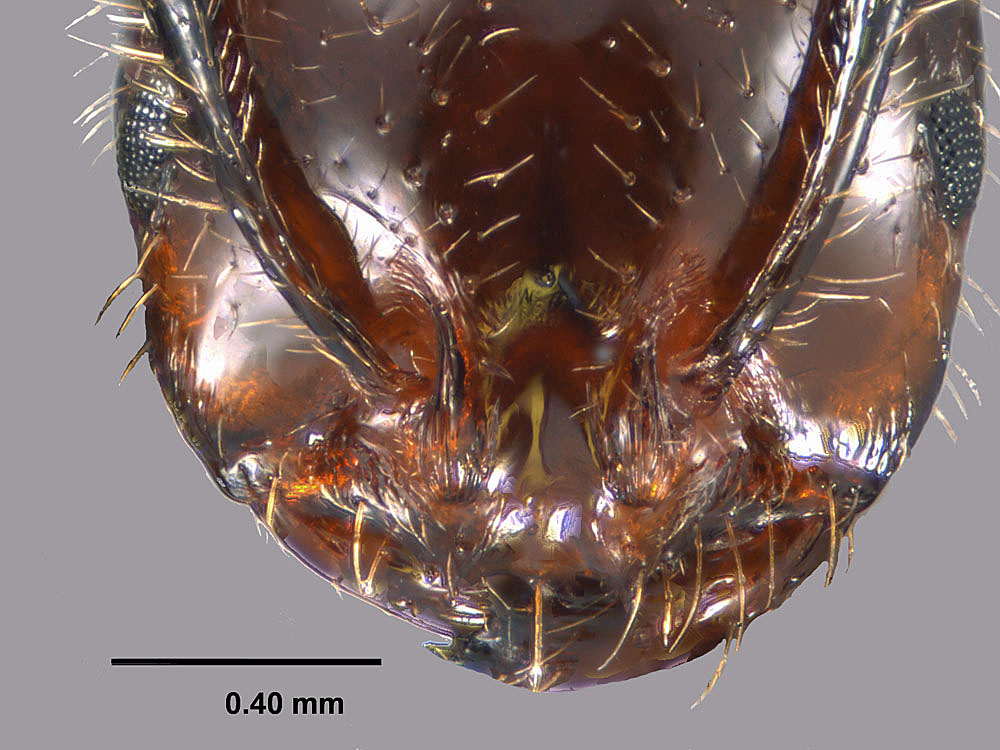 Solenopsis invicta X richteri, view of worker face showing clypeus