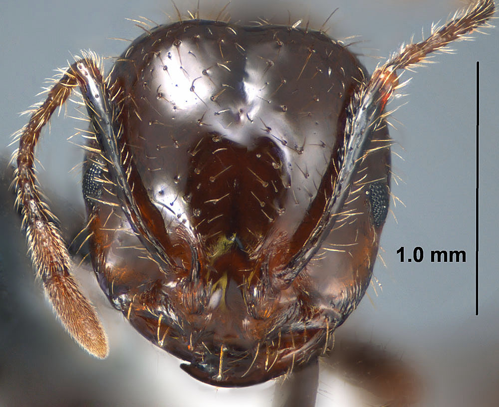 Solenopsis invicta X richteri, view of worker face