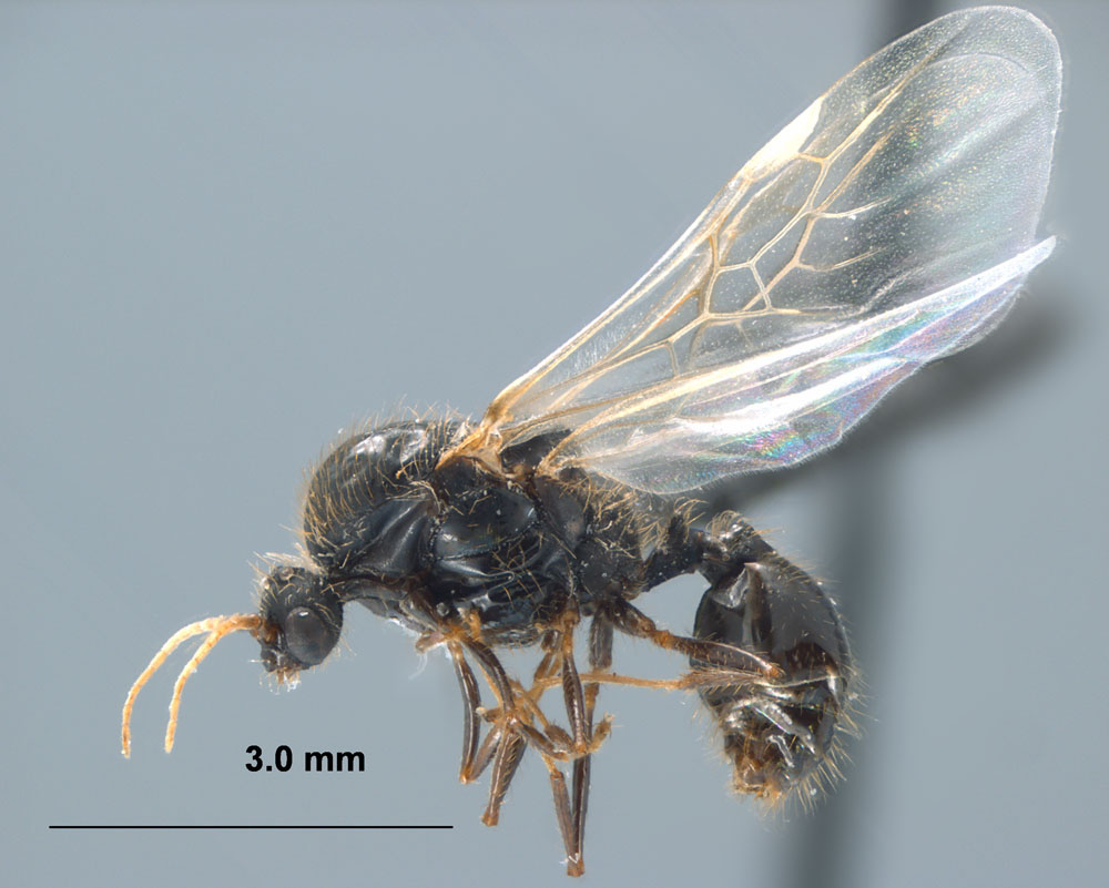 Solenopsis invicta profile view of male