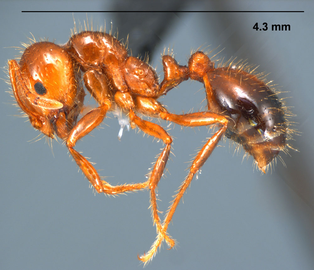 Solenopsis invicta profile view of worker