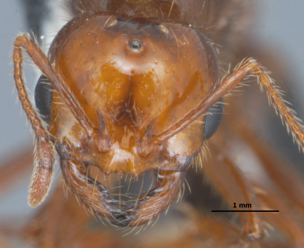 Solenopsis invicta queen head