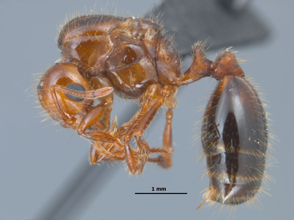 Solenopsis invicta side view of queen