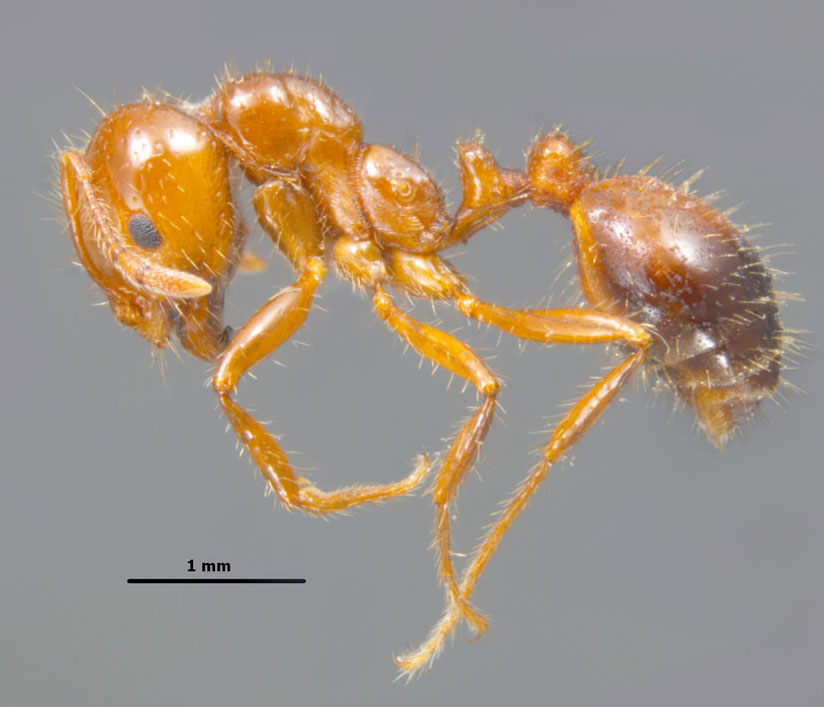 Solenopsis invicta worker profile