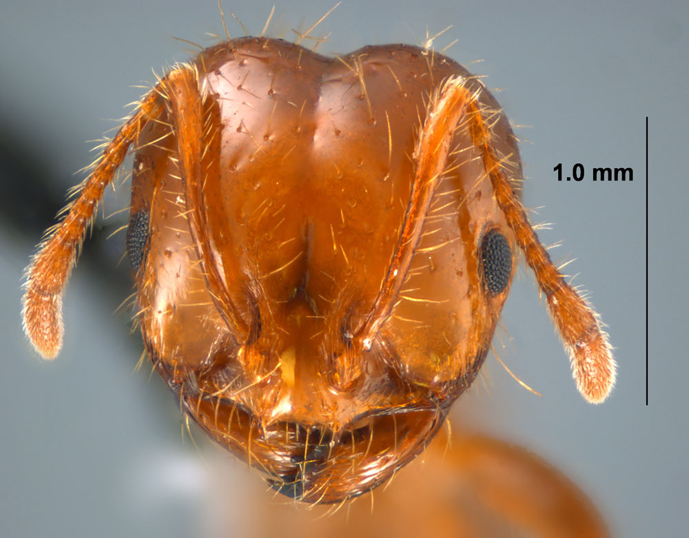 Solenopsis invicta worker face