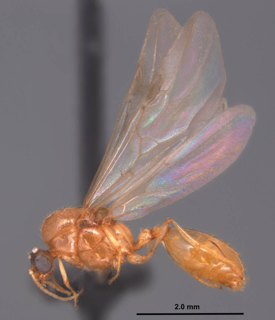 Solenopsis pergandei male - side view