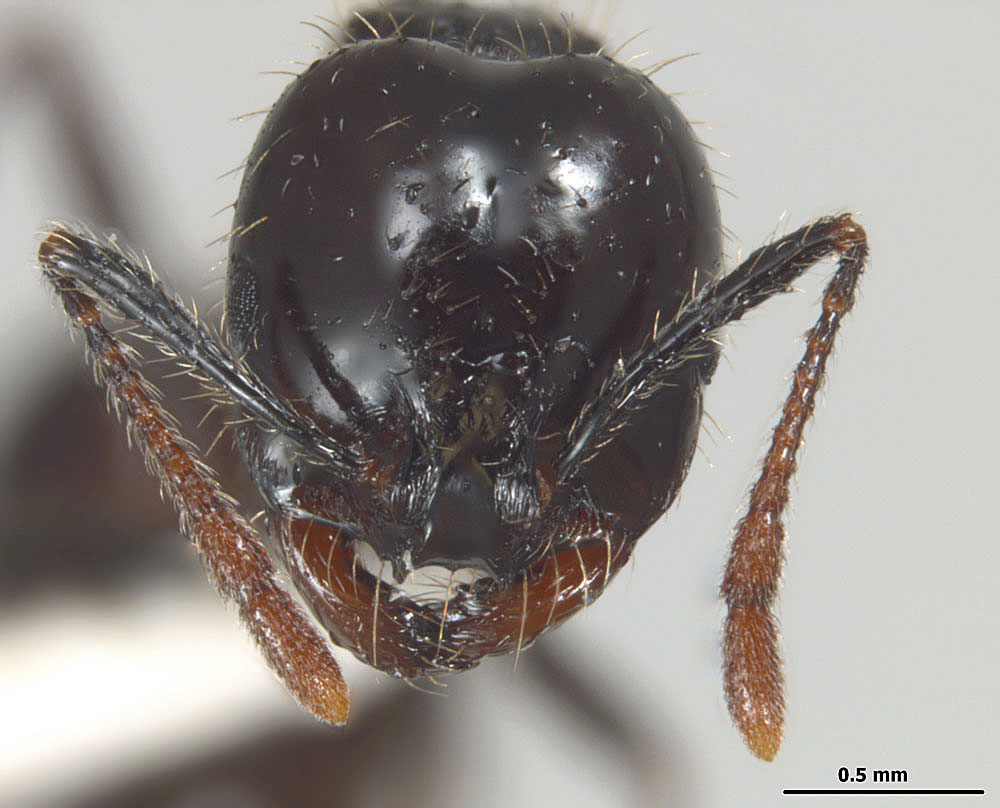 Solenopsis richteri, full face view of a major worker