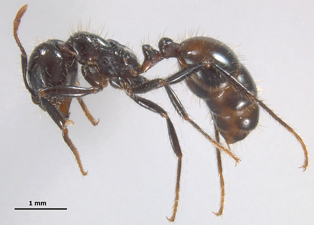 Solenopsis richteri, profile view of a major worker