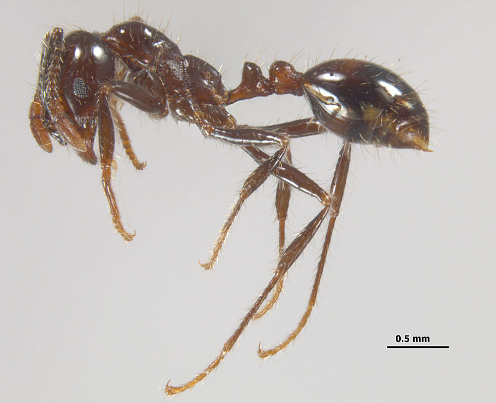 Solenopsis richteri, profile view of a minor worker