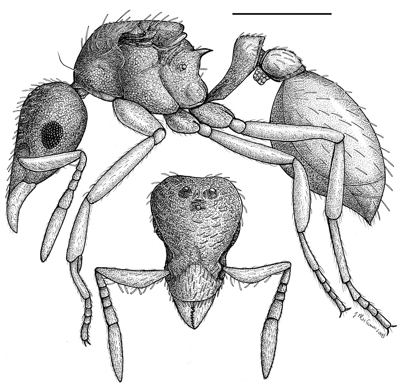 Strumigenys margaritae, head and profile view of dealate queen