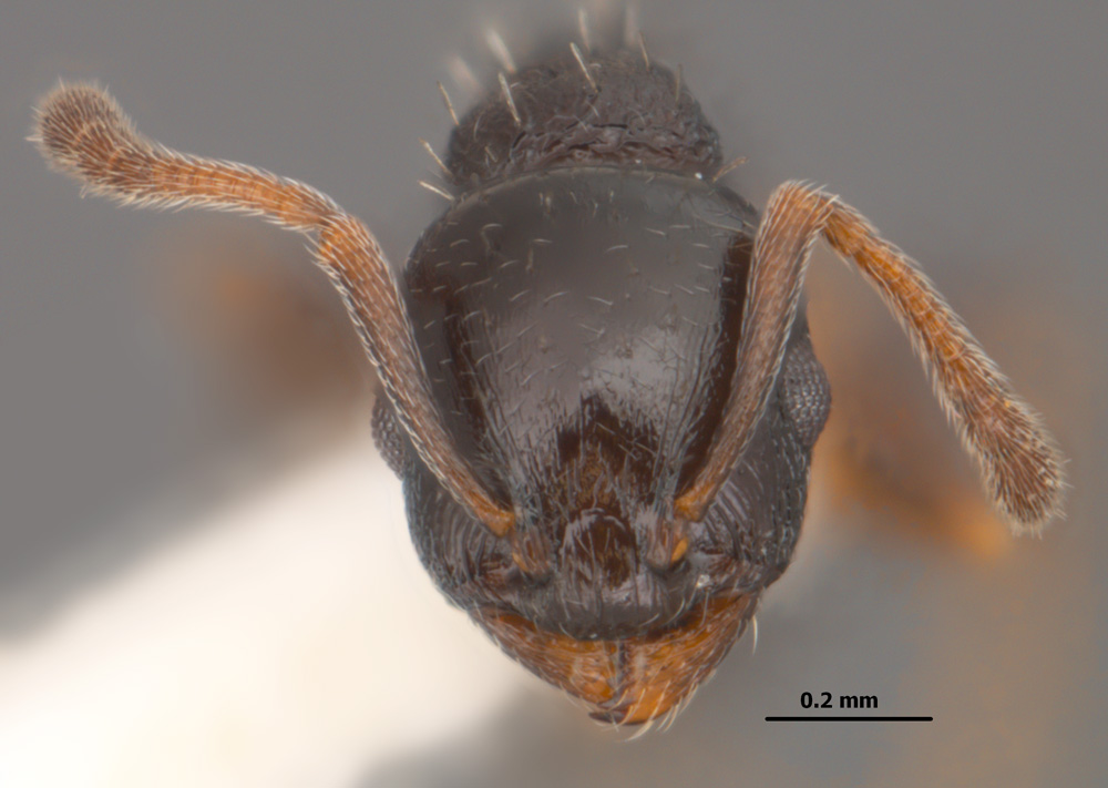 Temnothorax longispinosus worker head