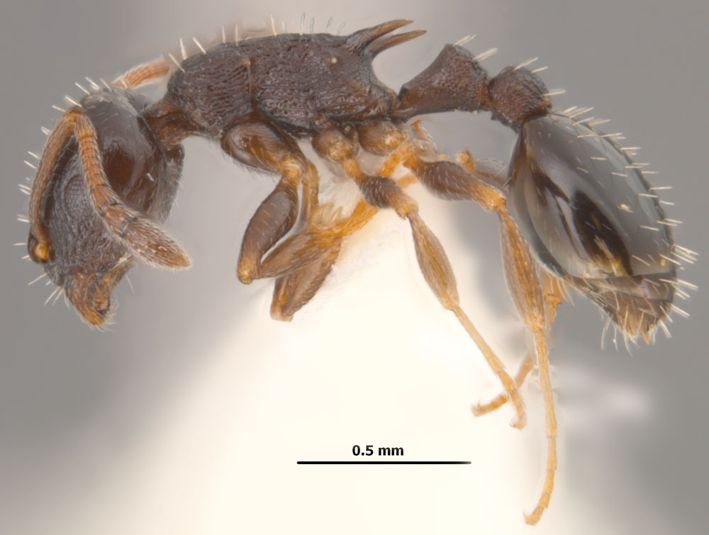 Temnothorax longispinosus worder side view
